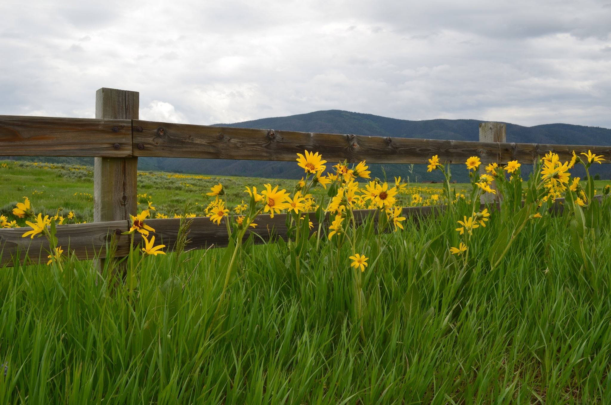 yellow Wildflowers along the fence with tall grass