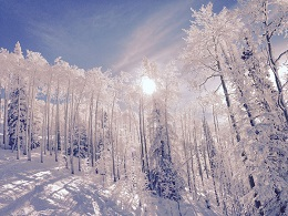 Aspen trees frosted along the ski slopes