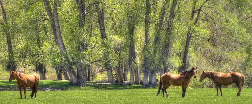 three horses on a field of grass with oak trees in the background